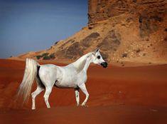 Beautiful White Arabian Walking in the Desert.