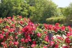 Antique Rose Emporium: Rescuing Heirloom Roses - victoriamag.com