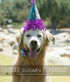 Celebrate SUGAR's 15th Barkday - Sugar The Golden Retriever