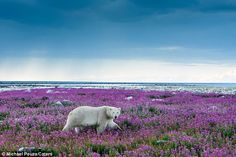 A changed landscape photographed by Michael Poliza in Hudson Bay at Point Hubbard (Canada) via Daily Mail #flower #violet #polar_bear #canada #daily_mail