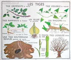 Items similar to RARE - Botanical - Vintage - Large stunning French School Poster ROSSIGNOL - double-sided. Adventitious roots - Stems on Etsy Basic French Words, Eco Garden, School Posters, Vintage School, French School, Permaculture, Horticulture, Botany, French Vintage