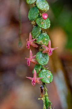 Miniature-orchid / Micro-orquidea:  Neooreophilus vieira-perezianus - Flickr - Photo Sharing!