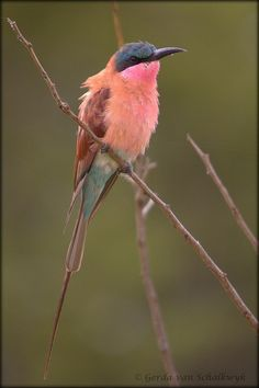 Southern Carmine Bee-eater. Thank you Jehovah, what a surprise, a coral bird.  Beautiful.