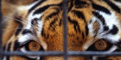 TAKE ACTION! The zoo where 40 tiger cubs were found stuffed in a freezer is reopening with a new name: stop it now! signatures on petition) Tiger Zoo, Tiger Cubs, Tiger Temple, Save Wildlife, Golden Tiger, Stop Animal Cruelty, Freezer, Action, Zoos