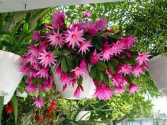 Details about 2 rare Pink Easter/Spring Cactus Plant rooted cutting Epiphyllum Succulent Hoya - orchideen Homepage Orchid Cactus, Cactus Flower, Flower Pots, Cactus Planta, Cactus Y Suculentas, Cacti And Succulents, Planting Succulents, Easter Cactus, Cactus Terrarium