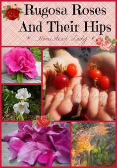 Rugosa Roses and Their Hips www.homesteadlady.com