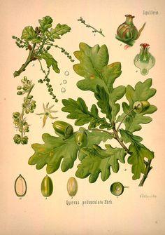 v.1 - Köhler's Medizinal-Pflanzen in naturgetreuen Abbildungen mit kurz erläuterndem Texte : - Missouri Botanical Garden Rare Book Collection via BHL  (Oak)