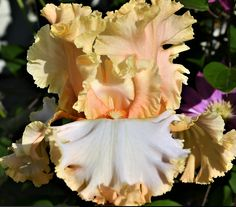 "Tall Bearded Iris""PRETTY BUBBLES""(GHIO)CREAMY ARICOT BUBBLED~RUFFLED-FRAGRANT 