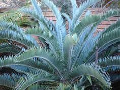 Encephalartos longifolius Joubertina Blue -