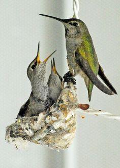 hummingbird photos bird nest photo baby bird by LDphotography Hummingbird Photos, Hummingbird Nests, Hummingbird Tattoo, Baby Hummingbirds, Bird Mom, Bird Quotes, Bird Wings, Australian Birds, Bird Wallpaper