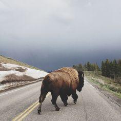 #nature #fur #buffalo
