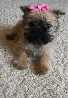brussels griffon puppy - Google Search
