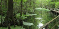 Santee Coastal Reserve....includes a boardwalk through the swamp.
