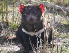 Alors quil était sur le point de disparaitre le diable de Tasmanie développe une résistance à son cancer