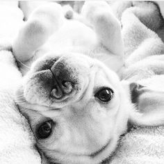"""8,794 Likes, 78 Comments - French  Bulldogs (@french_bulldogs) on Instagram: """"I dare you not to fall in love with me! I triple dog dare you! Follow me @andreea_malik808. Tag…"""""""