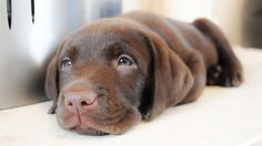 Adorable, Chocolate Lab puppy