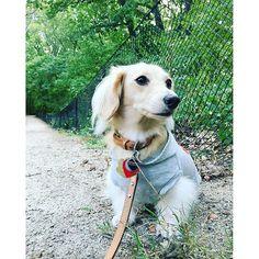 よく見ると、鼻になんかついてる(笑)#dachshund #minidachshund #minituredachshund #creamdachshund #mydog #dog #ダックス #ダックスフント #ダックスフンド #ミニチュアダックス #ミニチュアダックスフント #愛犬 #クリームダックス #犬 #dogstagram #犬バカ部 #doglover #petstagram #dogoftheday #ilovemydog #短足部 #instadog #dachshundoftheday