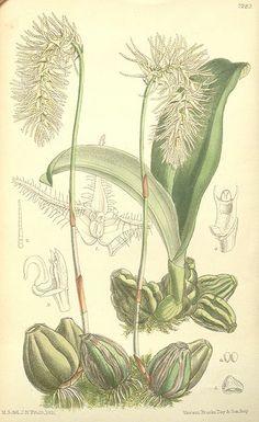 Bulbophyllum comosum
