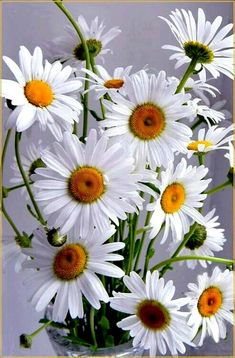 Daisies are the happiest flower don& you think? Happy Flowers, Flowers Nature, White Flowers, Beautiful Flowers, Sunflowers And Daisies, Daisy Love, Little Flowers, Gerbera, Pretty Pictures