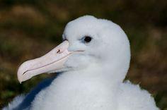 Northern Royal Albatross Chick, Taiaroa Head in May, weighing over 6.5kgs. Royal Albatross Centre, Dunedin, NZ
