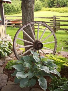 Hostas And Wagon Wheel