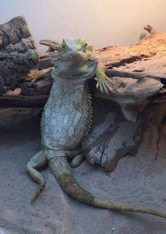 Rare photo of Kroq-Gar relaxing after the Battle of the Fallen Gates. Funny Lizards, Pet Lizards, Cute Reptiles, Funny Animal Jokes, Funny Animal Videos, Cute Funny Animals, Funny Animal Pictures, Cute Lizard, Cute Snake