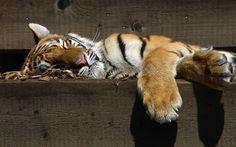 Free Image on Pixabay - Tiger, Sleeping, Zoo, Predator George Bernard Shaw, Sleeping Tiger, Tiger Images, Jungle Cat, Big Cats, Predator, Wildlife, Portrait, Pets