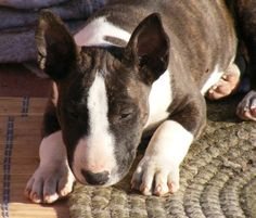 Bull Terrier & Mini Bull Terrier Pictures and Photos, 1