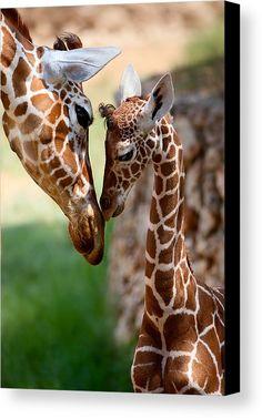 Mother Girafe with her baby Giraffe Cute Baby Animals, Animals And Pets, Funny Animals, Wild Animals, Animals Kissing, Animals Images, Safari Animals, Nature Animals, Animal Kingdom