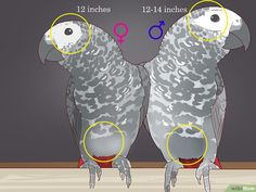 How to Tell the Sex of Parrots: 12 Steps (with Pictures) - wikiHow Parrot Pet, Parrot Toys, Budgie Toys, Parakeet Toys, Pet Bird Cage, African Grey Parrot, Timneh African Grey, Conure, Bird Toys