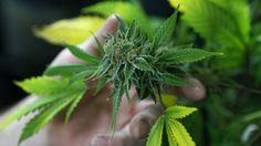 #Acuerdo para impedir el autocultivo de marihuana - LA NACION (Argentina): LA NACION (Argentina) Acuerdo para impedir el autocultivo de…