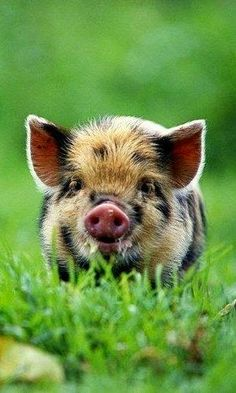 Pinterest Hot Trends!: Country Pig