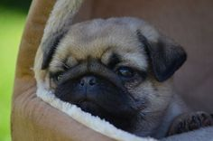 Baby pug contemplates the world from the safety of his bed