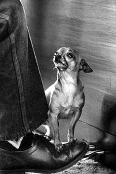 Chihuahua en équilibre sur la chaussure de pianiste, par Life Magazine Photographe Yale Joel 1960.                        Chihuahua balanced on pianist's shoe, by Life Magazine photographer Yale Joel, 1960.