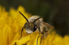 #macro #photography #close-up #bee #nicography