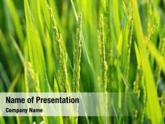 Rice Plant PowerPoint Templates - Rice Plant PowerPoint Backgrounds, Templates for PowerPoint, Presentation Templates, PowerPoint Themes Free Powerpoint Presentations, Powerpoint Themes, Powerpoint Presentation Templates, Rice Plant, Presentation Backgrounds, Borders For Paper, Social Icons, Company Names, Plants