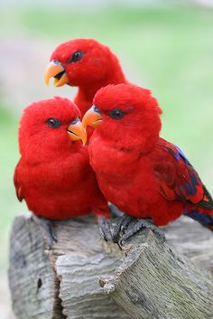 red lories  (photo by chinnchiyuu)... These are small parrots found in Australia. They also come in all blues, and mixed brilliant colors. Fascinating birds and Pinterest introduced them to me