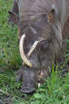 A babirusa may look like an ordinary wild pig, but those tusks say differently. If they aren't worn down, they can actually pierce the top of the animal's skull.