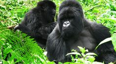 Mountain gorillas are still on the endangered species list. There are other kinds of gorillas in the world, but there are only about 800 of this particular subspecies, with 480 of them living in the Virungas.