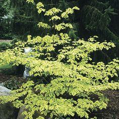 Golden Shadows dogwood (Cornus alternifolia 'Golden Shadows') [15 feet tall x 10 feet wide]
