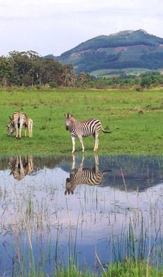 Zebras in Swaziland. Zebras, Seychelles, Uganda, Cool Places To Visit, Places To Go, Safari, Out Of Africa, World Travel Guide, Belleza Natural