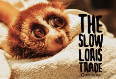The Slow LorisTrade frontier.ac.uk | blog.frontiergap.com  #slowloris #animalwelfare #animalrescue #pettrade #illegalpettrade #ticklingistorture #thailand #primates