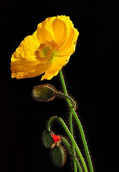I'm obsessed with Icelandic Poppies. All Flowers, Amazing Flowers, My Flower, Yellow Flowers, Beautiful Flowers, Poppy Flowers, Icelandic Poppies, Flower Photos, Black Backgrounds