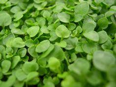 corsican mint. aaaamazing scent