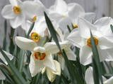 Narcissus—How to Grow NarcissusBulbs