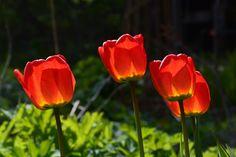 Tulppaanit | Vesan viherpiperryskuvat – puutarha kukkii