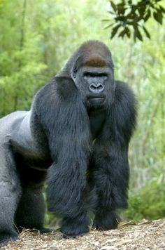 Motaba one of our male gorillas turns 30 this week. Happy Birthday!