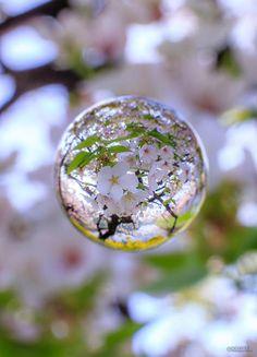 Cherry Blossom, Tokyo, Japan via Twitter https://twitter.com/KAGAYA_11949/status/585064213267095553/photo/1 | lifeisverybeautiful #sakura #spring #sphere #photograph