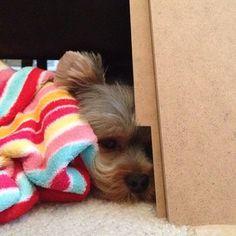 Sleepy Pebbles. #threadsence #puppies