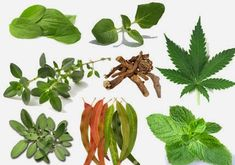 15 Plants and Herbs That Can Boost Lung Health, Heal Respiratory Infections And Even Repair Pulmonary Damage ~ RiseEarth